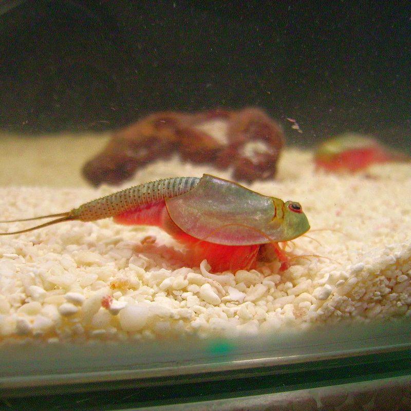 Triops Longicaudatus crustacé préhistorique