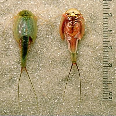 Triops Longicaudatus crustacé préhistorique taille ventre