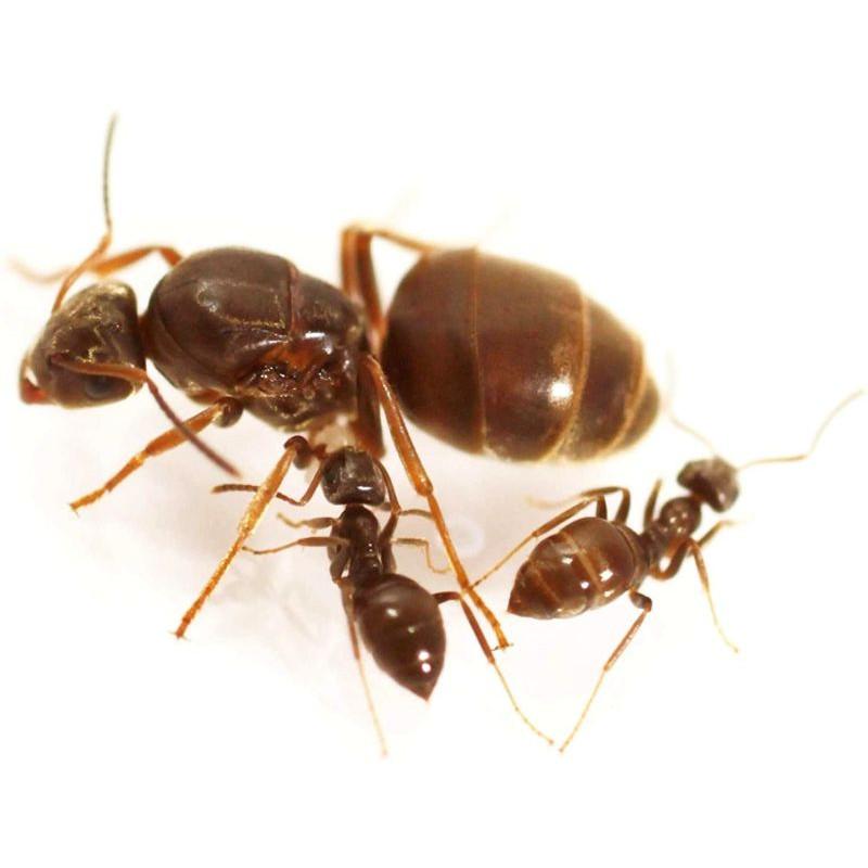 colonie fourmis noire des jardins lasius niger avec reine ant ants queen