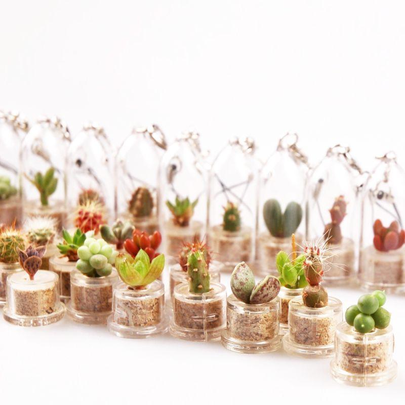 Babyplante chance la mini plante choisie au hasard Cactus porte bonheur