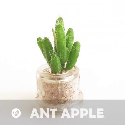 Babyplante Ant Apple petite plante mini cactus succulente porte clé