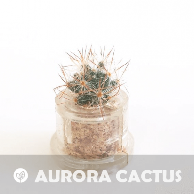 Babyplante Aurora Cactus petite plante mini cactus succulente porte clé