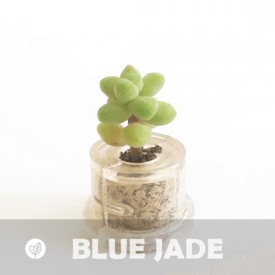 Babyplante Blue Jade petite plante mini cactus succulente porte clé