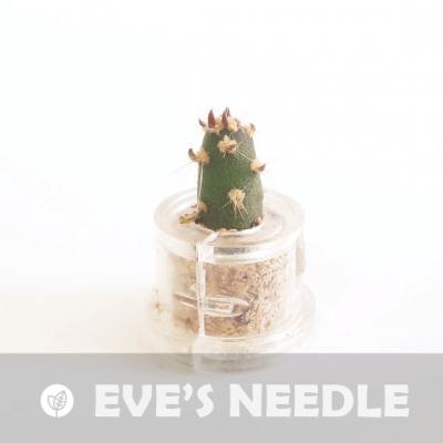 Babyplante Eve's Needle petite plante mini cactus succulente porte clé