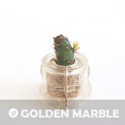 Babyplante Golden Marble petite plante mini cactus succulente porte clé