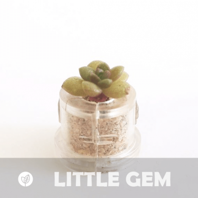 Babyplante Little Gem petite plante mini cactus succulente porte clé