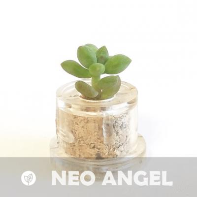 Babyplante Neo Angel petite plante mini cactus succulente porte clé