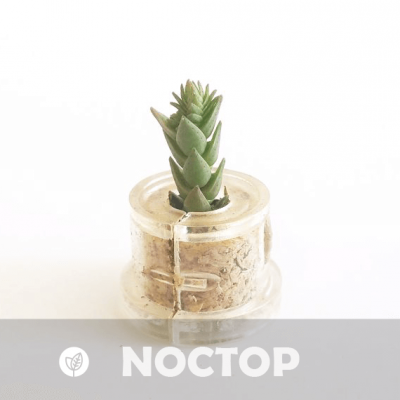 Babyplante Noctop petite plante mini cactus succulente porte clé