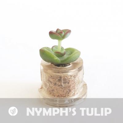Babyplante Nymph's Tulip petite plante mini cactus succulente porte clé