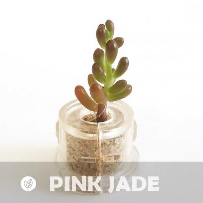 Babyplante Pink Jade petite plante mini cactus succulente porte clé