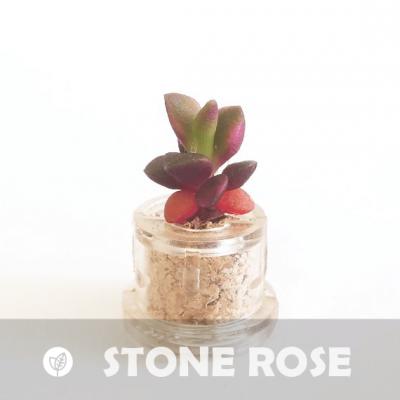 Babyplante Stone Rose petite plante mini cactus succulente porte clé