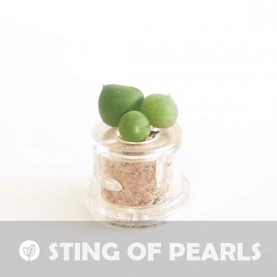 Babyplante String Of Pearls petite plante mini cactus succulente porte clé