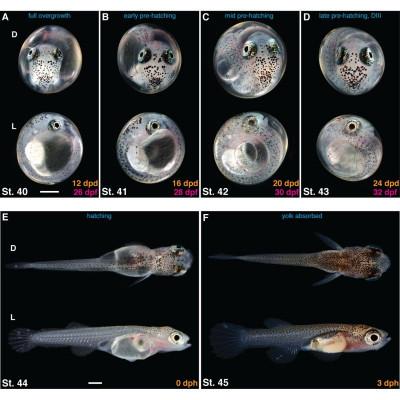 Oeufs larves alevins poisson eau douce killies killifish Nothobranchius evolution étapes croissance