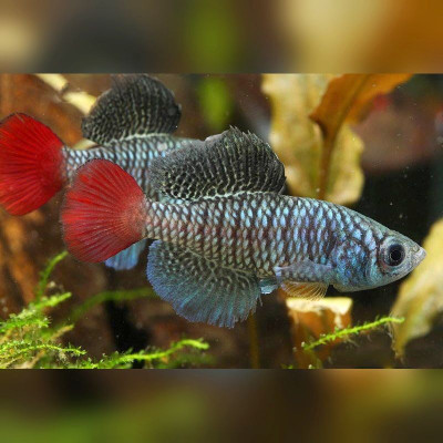 Oeufs larves alevins poisson killies killy killifish Nothobranchius Patrizii