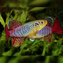 Oeufs larves alevins poisson killies killy killifish Nothobranchius Guentheri