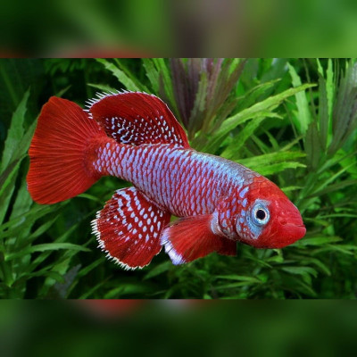 Oeufs larves alevins poisson killies killy killifish Nothobranchius Eggersi Red Blue